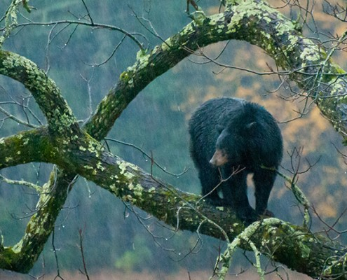 This rainy day bear was photographed by David Olive at Cade's Cove, Tennessee.