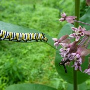 monarch-caterpillar-milkweed