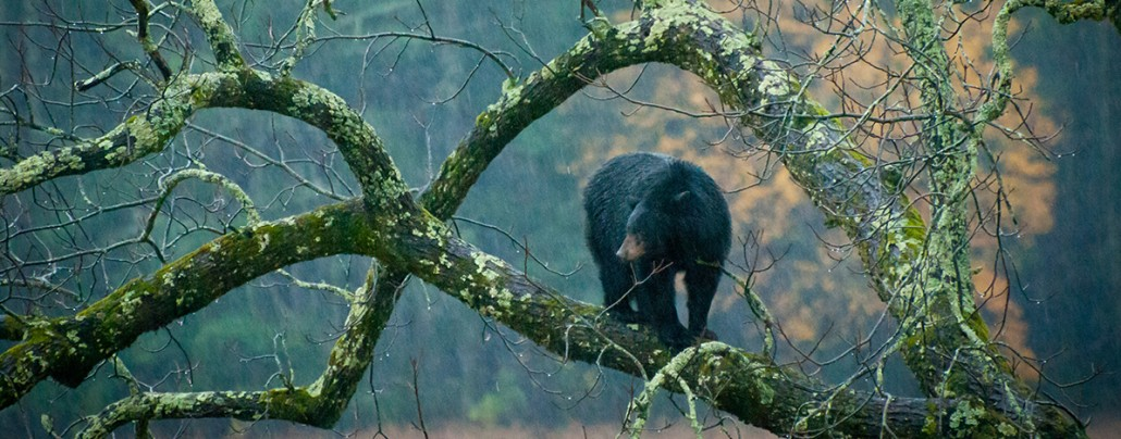 bear tennessee