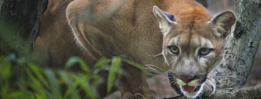 cougar Tennessee