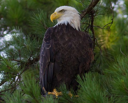 Bald Eagle Tennessee