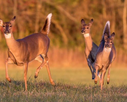 deer in field tennessee
