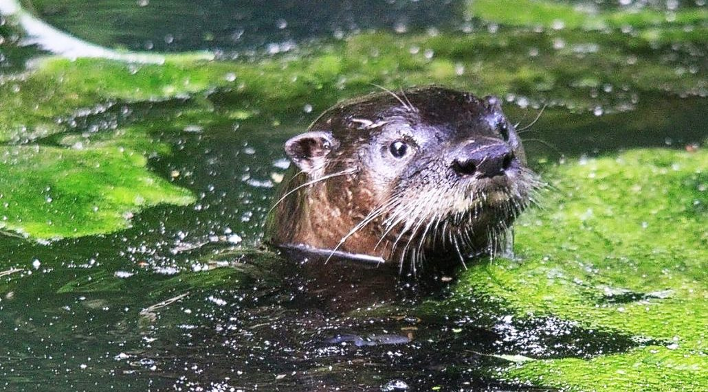 American River Otter