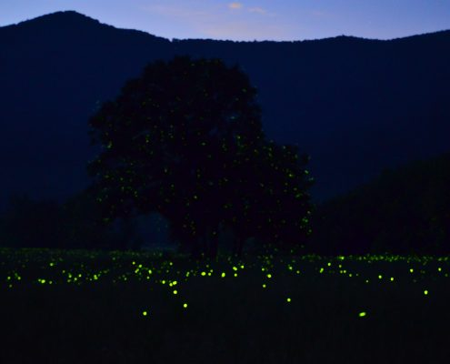 Fireflies in Cades Cove