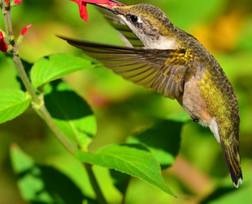humming bird drinking nectar