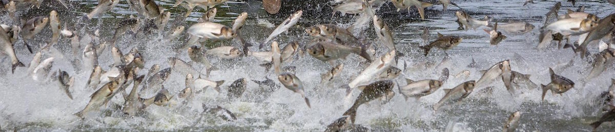 Asian carp leaping
