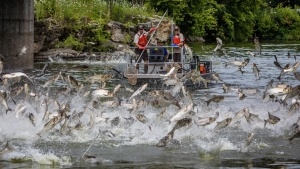 flying asian carp