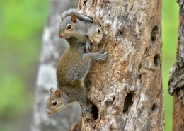 squirrels in tree
