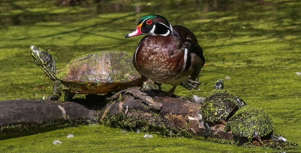 wood duck and turtles sitting on log in wetland